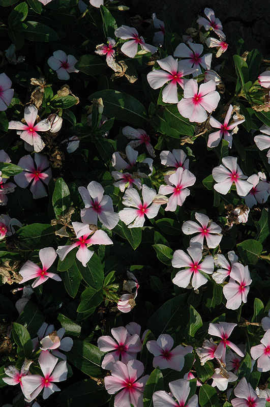 Titan Blush Vinca (Catharanthus roseus 'Titan Blush') at Meadows Farms Nurseries