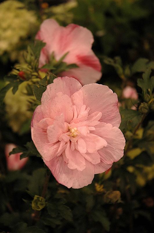 Pink Chiffon Rose Of Sharon Hibiscus Syriacus Jwnwood4 In