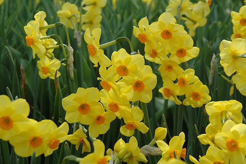 Martinette Daffodil (Narcissus 'Martinette') at Meadows Farms Nurseries