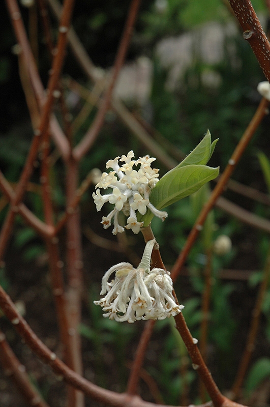 Oriental Paper Bush (Edgeworthia chrysantha) at Meadows Farms Nurseries