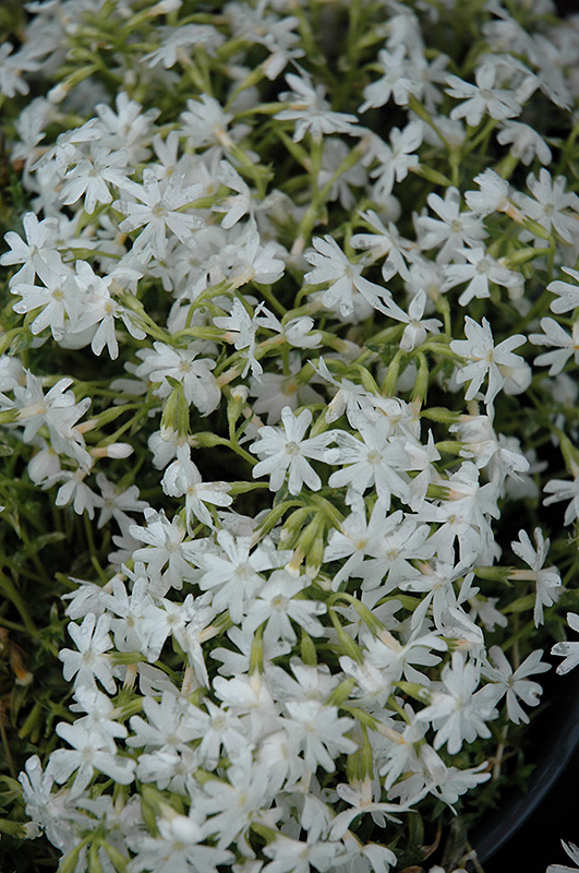 Snowflake Phlox (Phlox subulata 'Snowflake') at Meadows Farms Nurseries