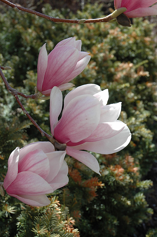 Saucer Magnolia (Magnolia x soulangeana) at Meadows Farms Nurseries
