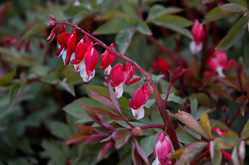 Valentine Bleeding Heart (Dicentra spectabilis 'Hordival') at Meadows Farms Nurseries