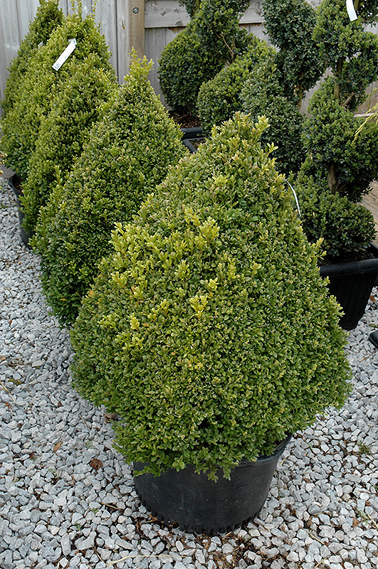 Green Mountain Boxwood (pyramid form) (Buxus 'Green Mountain (pyramid)') at Meadows Farms Nurseries