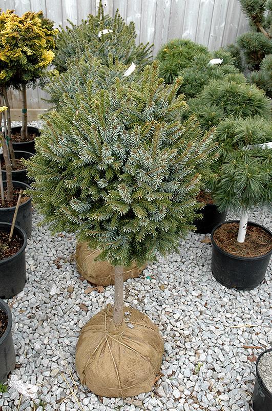 dwarf serbian spruce  tree form   picea omorika  u0026 39 nana