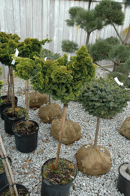 Slender Hinoki Falsecypress (tree form) (Chamaecyparis obtusa 'Gracilis (tree form)') at Meadows Farms Nurseries