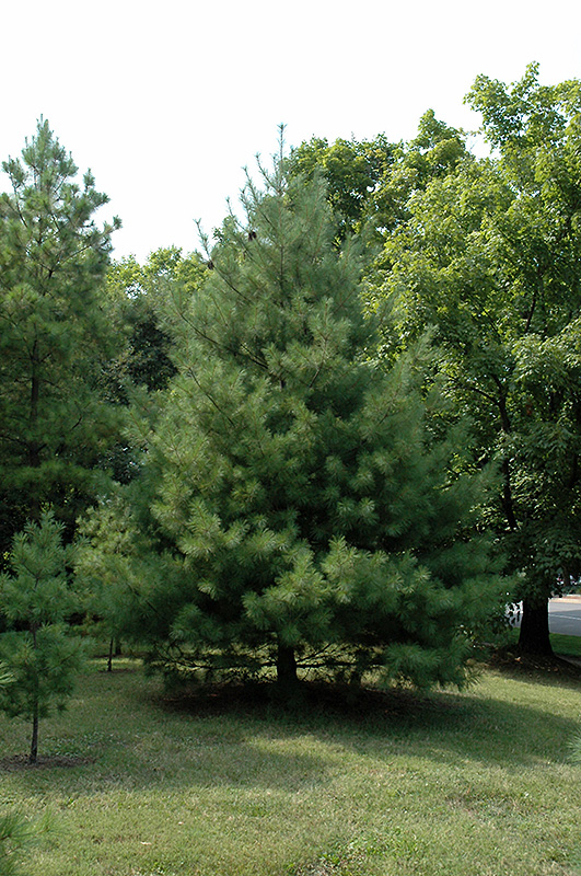 Loblolly Pine Pinus Taeda In Richmond Fairfax Loudoun