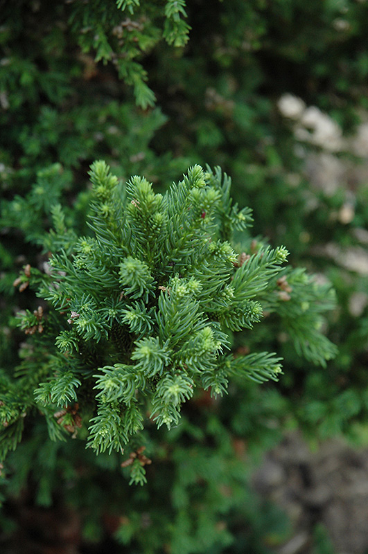 Black Dragon Japanese Cedar (Cryptomeria japonica 'Black Dragon') at Meadows Farms Nurseries