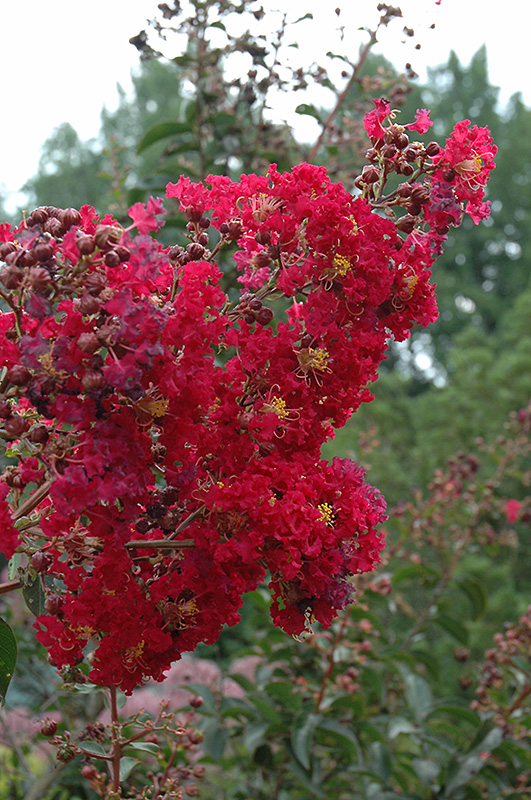 Arapaho Crapemyrtle (Lagerstroemia 'Arapaho') at Meadows Farms Nurseries