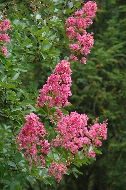 Hopi Crapemyrtle (Lagerstroemia 'Hopi') at Meadows Farms Nurseries