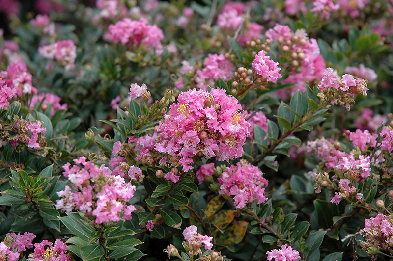 Dazzle Me Pink Crapemyrtle (Lagerstroemia indica 'Gamad V') at Meadows Farms Nurseries