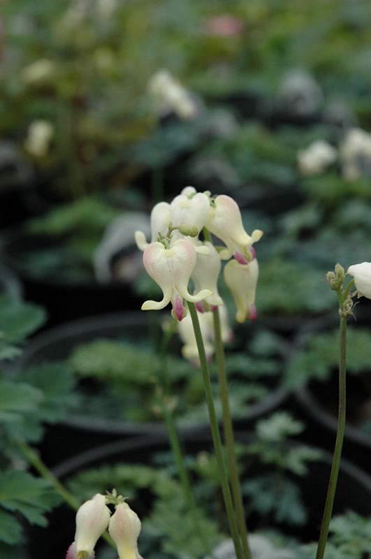 Love Hearts Bleeding Heart (Dicentra 'Love Hearts') at Meadows Farms Nurseries