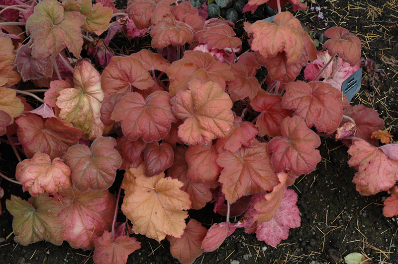 Southern Comfort Coral Bells (Heuchera 'Southern Comfort') at Meadows Farms Nurseries