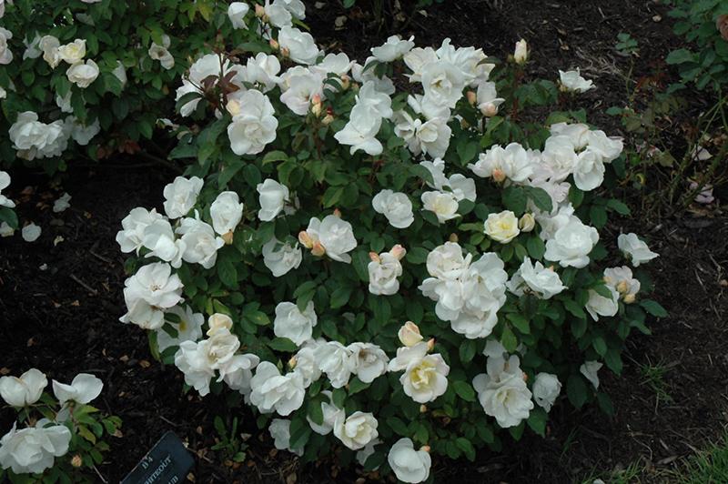 White Knock Out Rose Rosa Radwhite In Richmond Fairfax