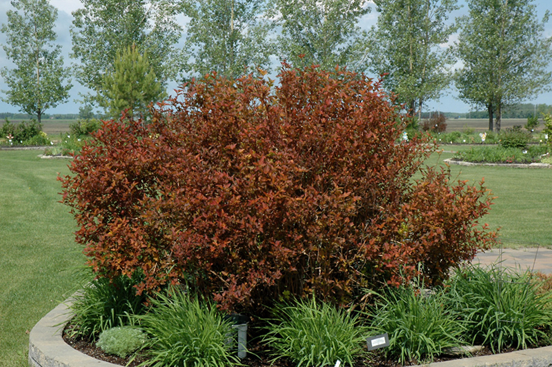 Coppertina Ninebark (Physocarpus opulifolius 'Mindia') at Meadows Farms Nurseries