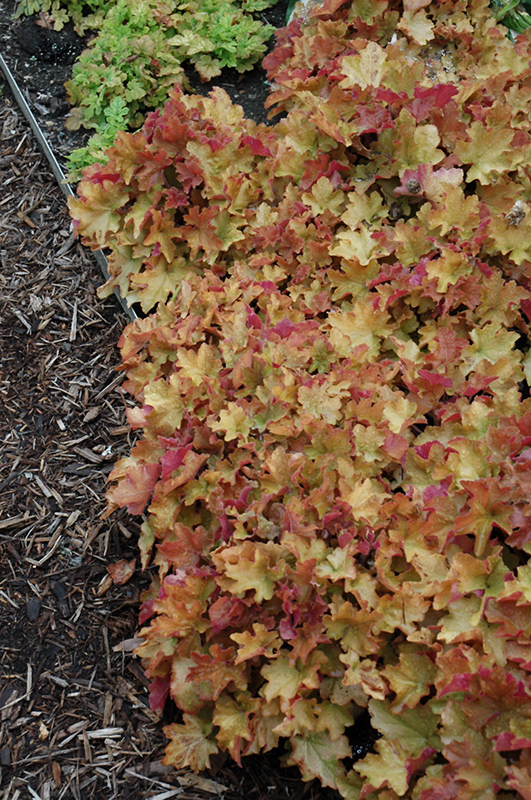 Caramel Coral Bells (Heuchera 'Caramel') at Meadows Farms Nurseries