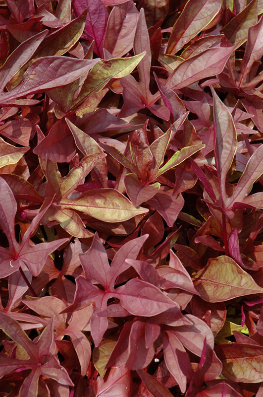 Solarpower Red Sweet Potato Vine Ipomoea Batatas