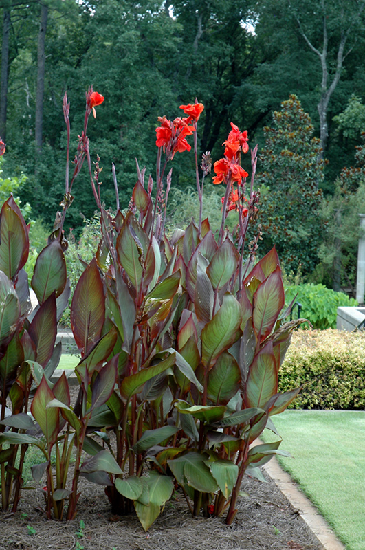 Australia Canna (Canna 'Australia') at Meadows Farms Nurseries