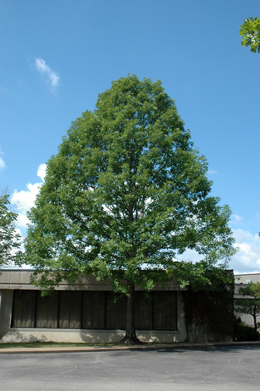 Nuttall S Oak Quercus Texana At Meadows Farms Nurseries