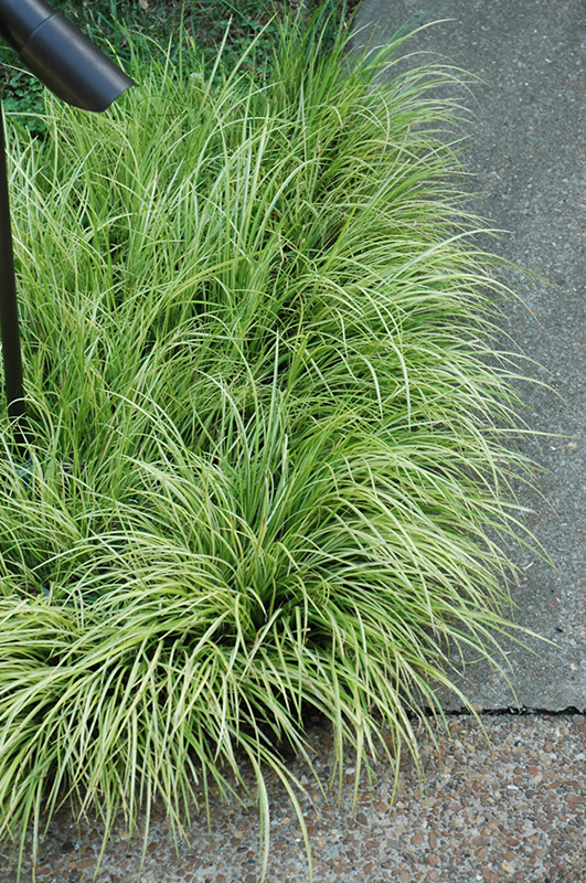Grassy-Leaved Sweet Flag (Acorus gramineus 'Ogon') at Meadows Farms Nurseries