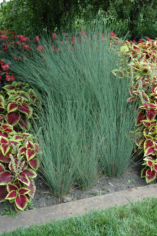 Blue Arrows Rush (Juncus inflexus 'Blue Arrows') at Meadows Farms Nurseries