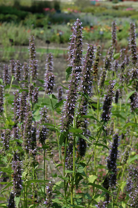 Black Adder Hyssop (Agastache 'Black Adder') at Meadows Farms Nurseries