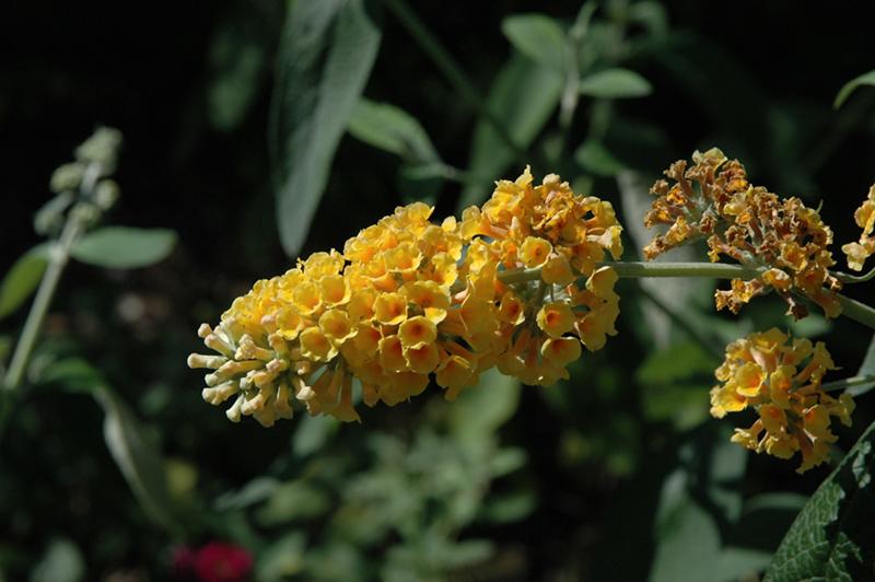 Honeycomb Butterfly Bush Buddleia X Weyeriana Honeycomb