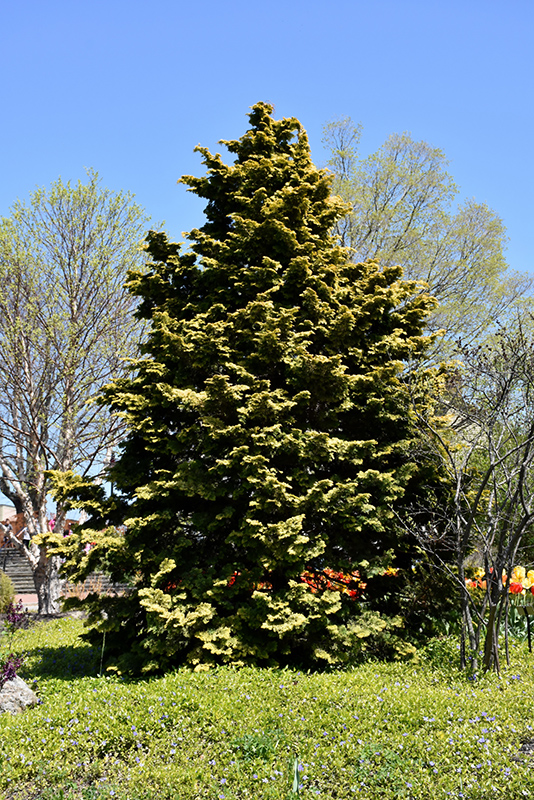 Confucius Hinoki Falsecypress (Chamaecyparis obtusa 'Confucius') at Meadows Farms Nurseries