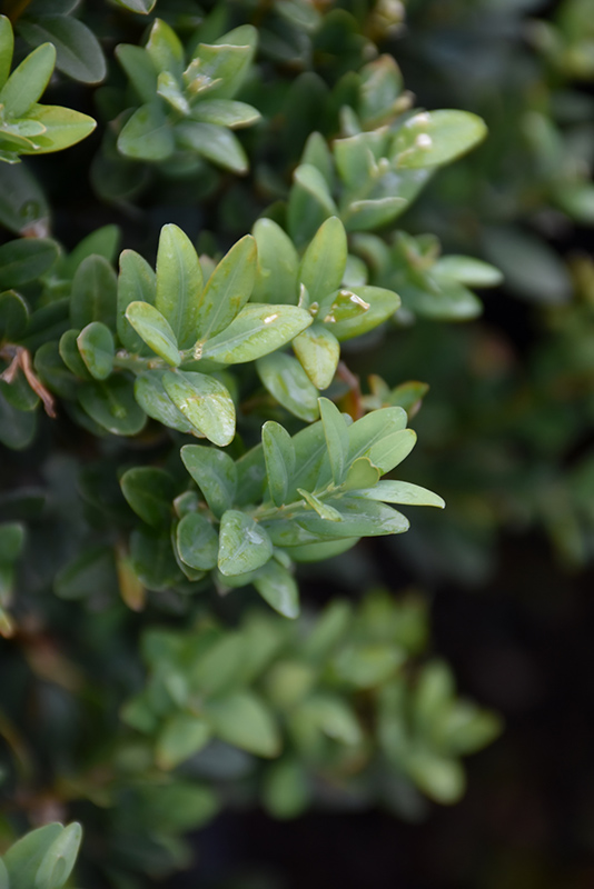 Newport Blue Boxwood (Buxus sempervirens 'Newport Blue') at Meadows Farms Nurseries