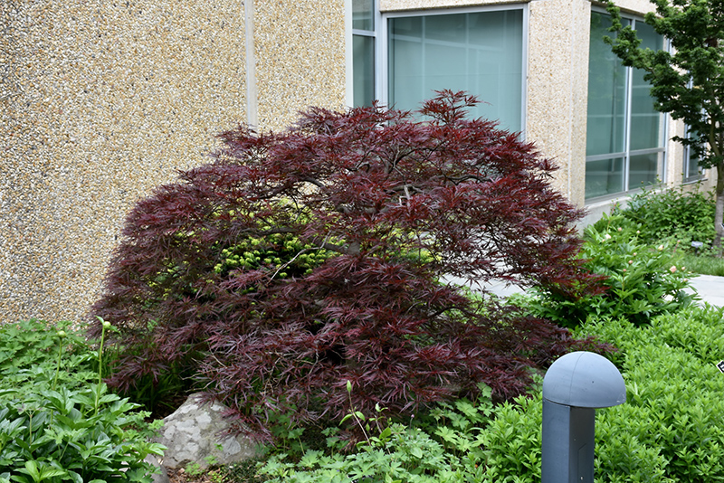 Red Dragon Japanese Maple Acer Palmatum Red Dragon In Richmond