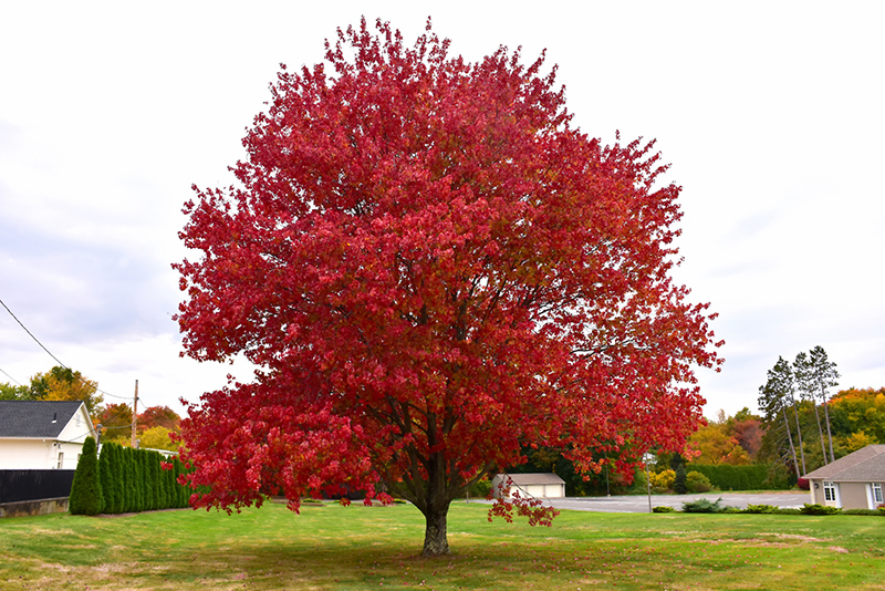 Red Maple Acer Rubrum In Richmond