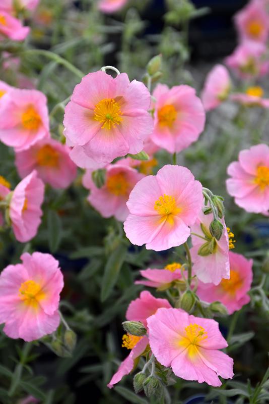 Wisley Pink Rock Rose Helianthemum Nummularium Wisley