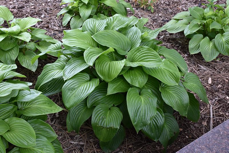 Plantain Lily Hosta Plantaginea In Richmond Fairfax