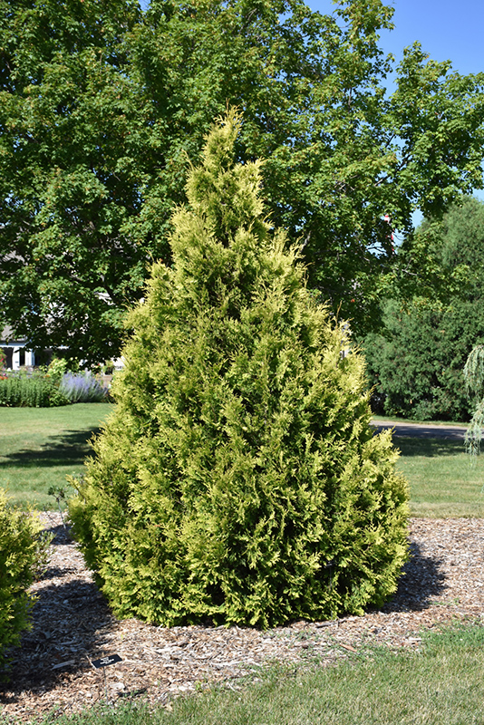 Yellow Ribbon Arborvitae (Thuja occidentalis 'Yellow Ribbon') at Meadows Farms Nurseries