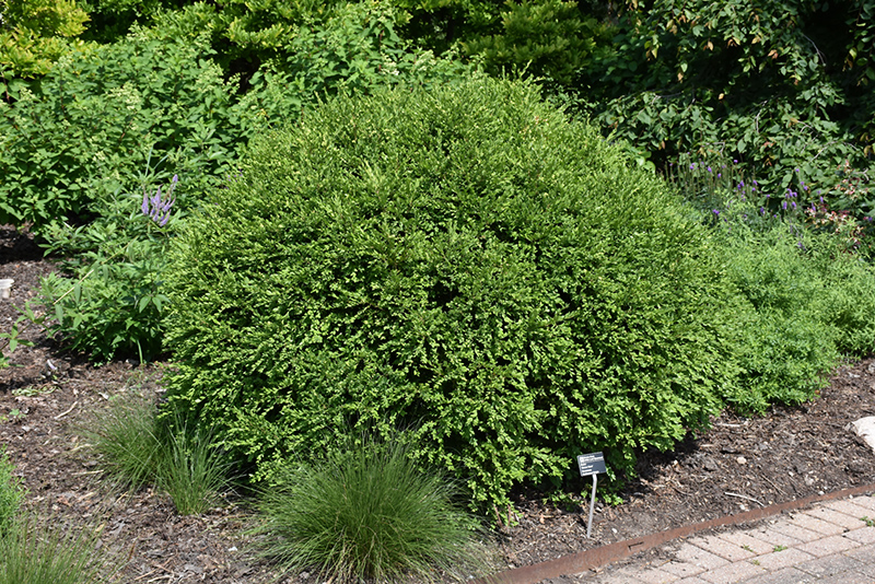 Green Gem Boxwood (Buxus 'Green Gem') at Meadows Farms Nurseries
