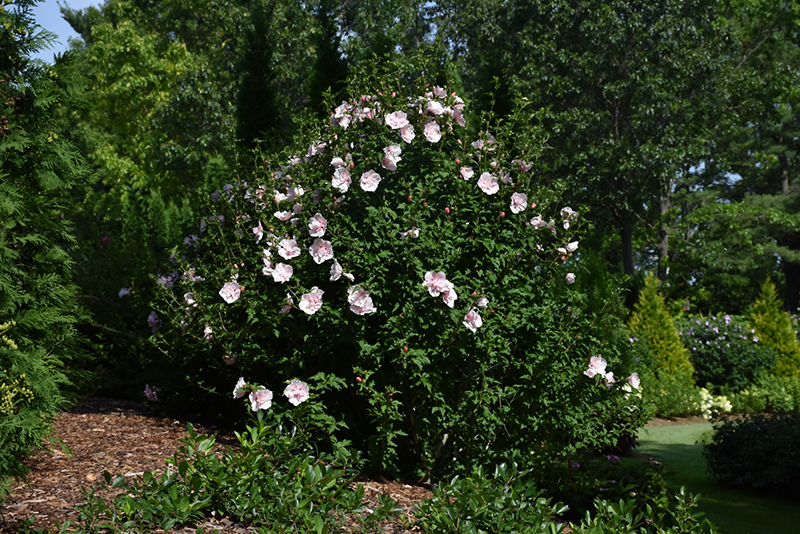 Pink Chiffon Rose of Sharon (Hibiscus syriacus 'JWNWOOD4') at Meadows Farms Nurseries