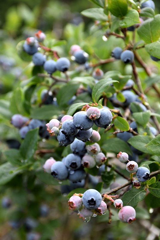 Blue Jay Blueberry (Vaccinium corymbosum 'Blue Jay') at Meadows Farms Nurseries
