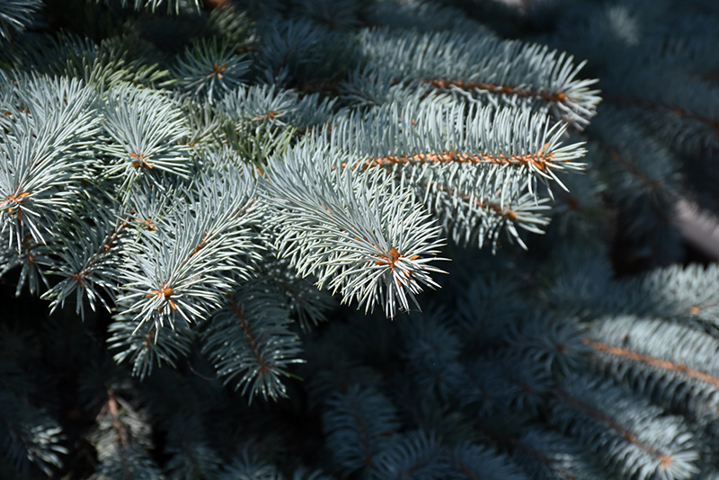 Baby Blue Blue Spruce (Picea pungens 'Baby Blue') at Meadows Farms Nurseries