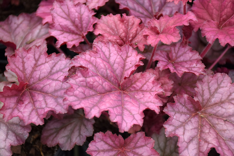 Berry Smoothie Coral Bells (Heuchera 'Berry Smoothie') at Meadows Farms Nurseries