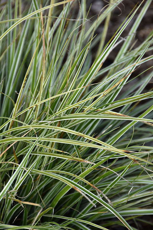 EverColor Everest Japanese Sedge (Carex oshimensis 'Carfit01') at Meadows Farms Nurseries