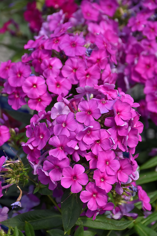 Purple Flame Garden Phlox (Phlox paniculata 'Purple Flame') at Meadows Farms Nurseries