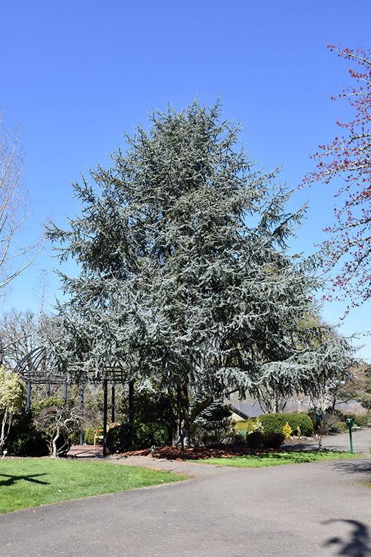 Blue Atlas Cedar (Cedrus atlantica 'Glauca') at Meadows Farms Nurseries