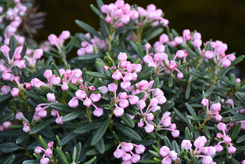 Blue Ice Bog Rosemary (Andromeda polifolia 'Blue Ice') at Meadows Farms Nurseries