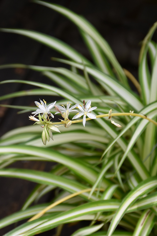 Spider Plant (Chlorophytum comosum) at Meadows Farms Nurseries