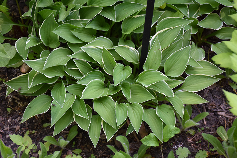 Allan P. McConnell Hosta (Hosta 'Allan P. McConnell') at Meadows Farms Nurseries