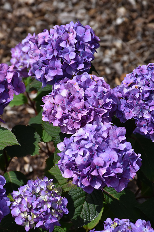 Bloomstruck Hydrangea (Hydrangea macrophylla 'PIIHM-II') at Meadows Farms Nurseries