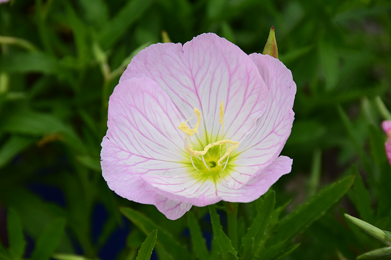 Siskiyou Mexican Evening Primrose (Oenothera berlandieri 'Siskiyou') at Meadows Farms Nurseries