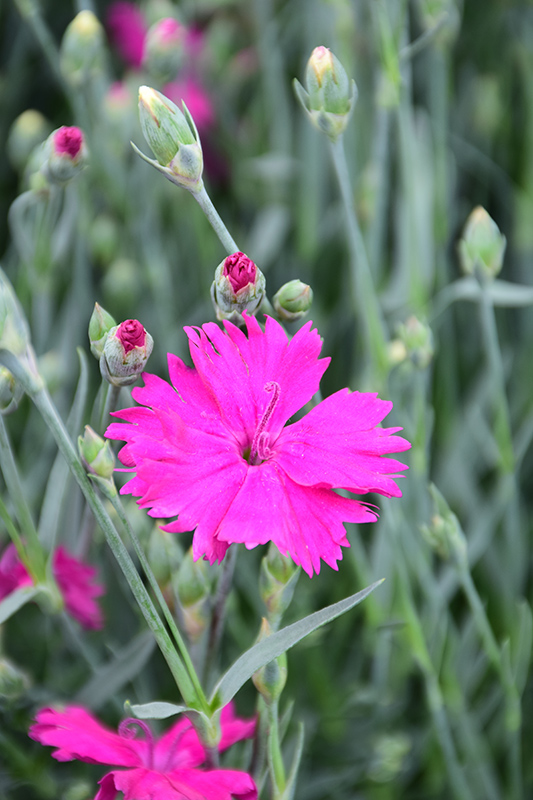 Neon Star Pinks (Dianthus 'Neon Star') at Meadows Farms Nurseries