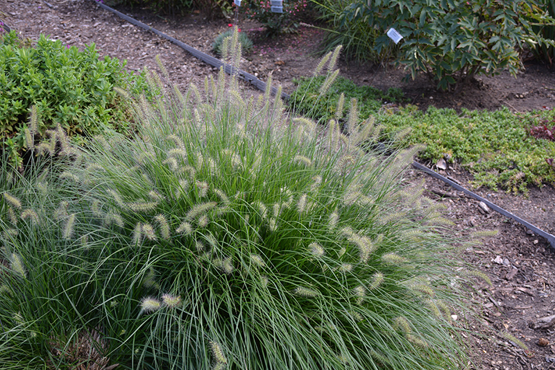 Little Bunny Dwarf Fountain Grass (Pennisetum alopecuroides 'Little Bunny') at Meadows Farms Nurseries