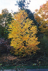 Katsura Tree (Cercidiphyllum japonicum) at Meadows Farms Nurseries